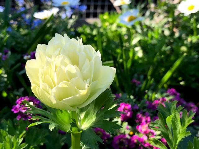 クリーム色の八重咲きアネモネ。花の写真