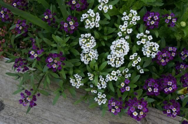白と紫の花の画像