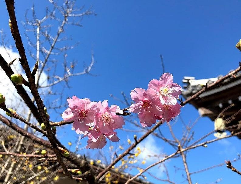 日本一早く咲く桜。河津桜の写真。澄み渡る青空とお寺の屋根を背景に、たった1枝にソメイヨシノよりも濃いピンク色をした花が数輪咲いています。